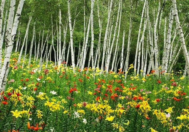 白樺林のカラフル百合たち。