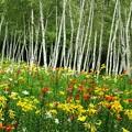 写真: 白樺林のカラフル百合たち。