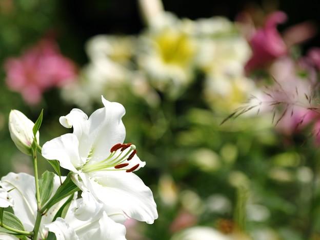 真白き百合花。