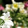 写真: 真白き百合花。