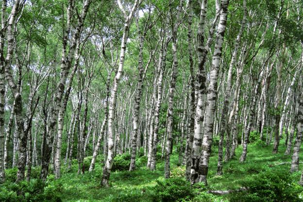 高原の白樺林。