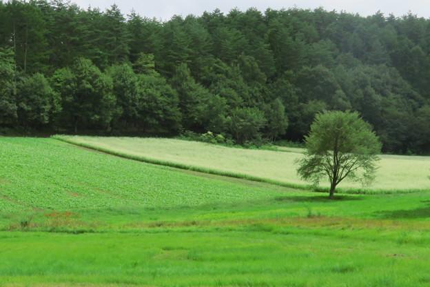 そば畑の一本木。