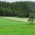 Photos: そば畑の一本木。