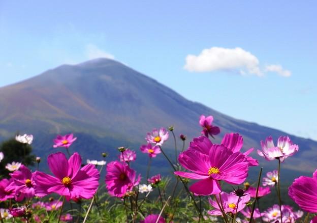 コスモスと浅間山。