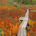 写真: 草紅葉、シダの色濃し。