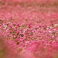 Photos: 赤そばの魅惑。