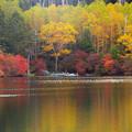 写真: 白駒の池、黄金に色づく。