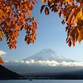 写真: 桜の葉っぱに西日さす。
