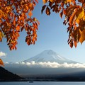 Photos: 桜の葉っぱに西日さす。