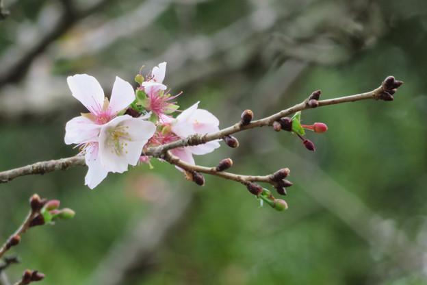 季節外れに咲いてる桜。