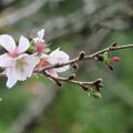 Photos: 季節外れに咲いてる桜。