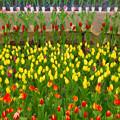 Photos: 早く咲け咲け、チューリップ。