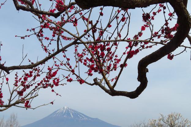 昇り龍な梅の枝ぶり。