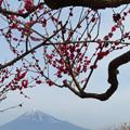 Photos: 昇り龍な梅の枝ぶり。