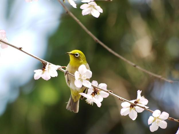 魯桃桜のメジロ。