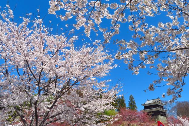 華やかな桜から。
