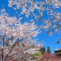 Photos: 華やかな桜から。