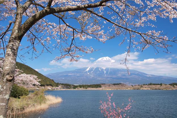 飾る桜の田貫湖か。