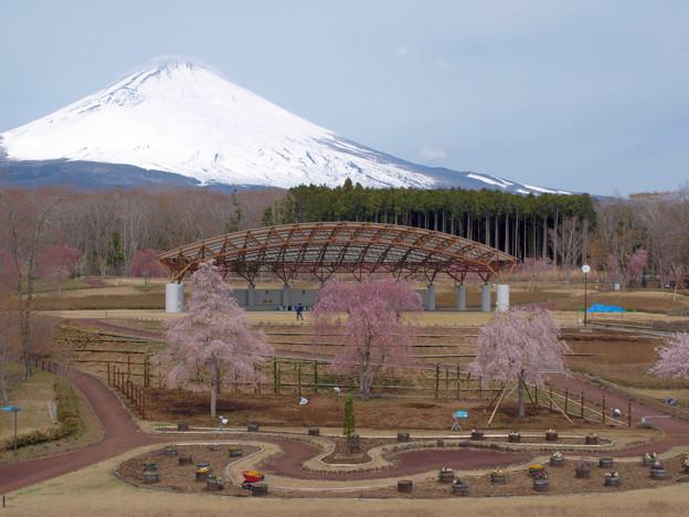 三桜並び立って。