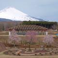 Photos: 三桜並び立って。
