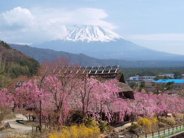 枝垂桜に囲まれて。