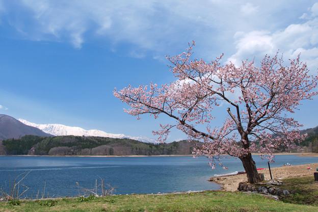 青木湖畔の一本桜。