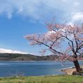 Photos: 青木湖畔の一本桜。
