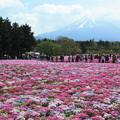 Photos: パッチワークな芝桜。