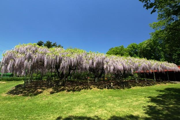 Photos: 香り漂う大藤棚。