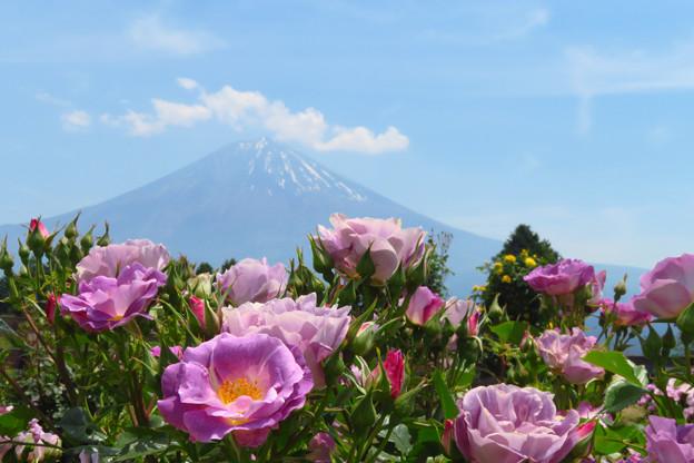 パープルローズ咲いた暑い日。
