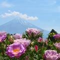 Photos: パープルローズ咲いた暑い日。