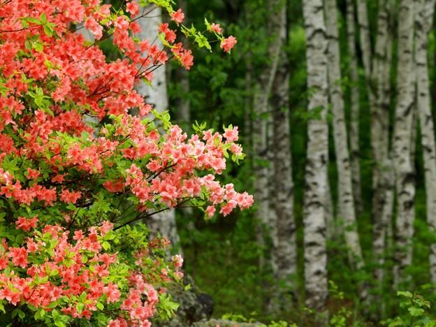 白樺林のヤマツツジ。