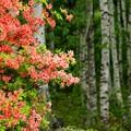 Photos: 白樺林のヤマツツジ。