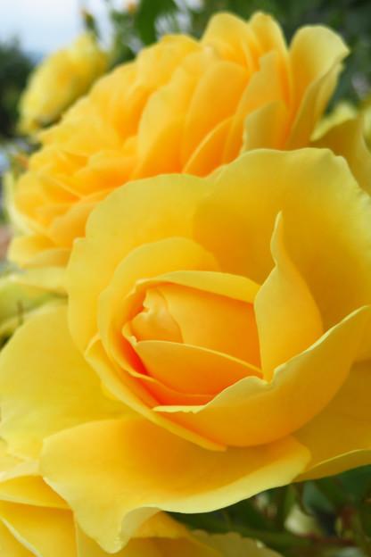 魅惑の黄バラ。