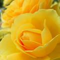 Photos: 魅惑の黄バラ。
