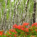 Photos: ゼブラの森のレンゲツツジ。