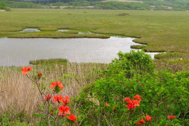 ツツジ咲く湿原。