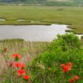 Photos: ツツジ咲く湿原。