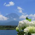 Photos: 白き紫陽花と飛ぶ雲と。