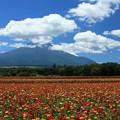 Photos: カラー満開、百日草。