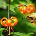 Photos: 逆さ蝶、吊られたのかな。