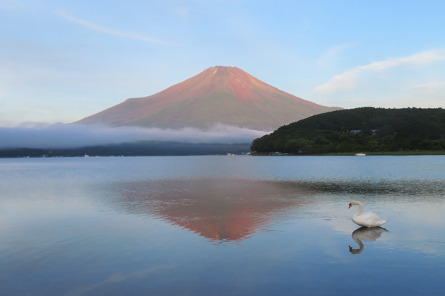 白鳥も見入る赤い富士。