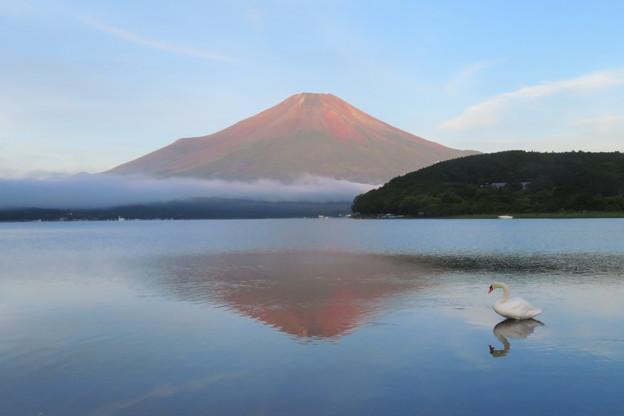 Photos: 白鳥も見入る赤い富士。