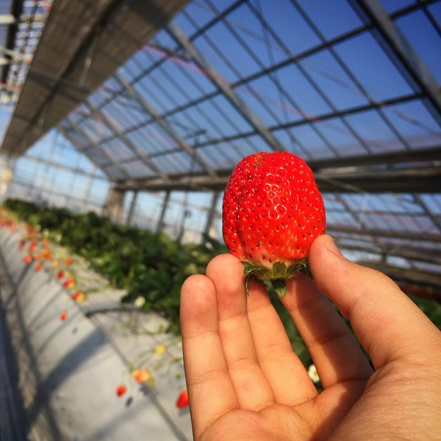 Strawberry Picking♪