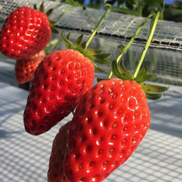 真っ赤なイチゴ達♪