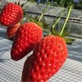写真: 真っ赤なイチゴ達♪