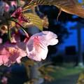 Photos: 終わりかけの桜