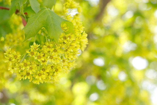 Photos: Pacific sunset maple blossom♪