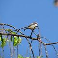 在庫 エナガの幼鳥