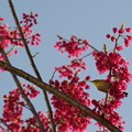 写真: 寒緋桜の蜜を吸う目白